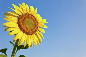 blooming-sunflower-in-the-blue-sky-background-tosporn-preede